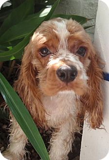 Cocker Spaniel Puppy for adoption in Sugarland, Texas - Nikky