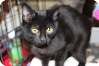 Bombay Kitten for adoption in Santa Monica, California - Amelia