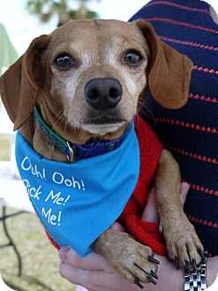 Dachshund/Chihuahua Mix Dog for adoption in Baton Rouge, Louisiana - Clifford