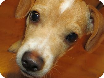 Beagle/Chihuahua Mix Puppy for adoption in Marion, Indiana - Tiny