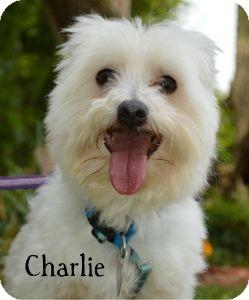 Maltese Mix Dog for adoption in Warren, Pennsylvania - Charlie