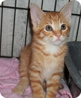 Domestic Shorthair Kitten for adoption in Acme, Pennsylvania - Bogart