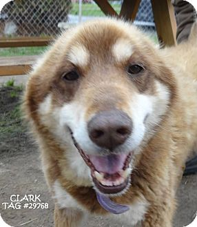 Husky Mix Dog for adoption in Lapeer, Michigan - CLARK-LOVEABLE SENIOR!