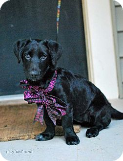 Dachshund/Labrador Retriever Mix Puppy for adoption in Baton Rouge, Louisiana - Fergie