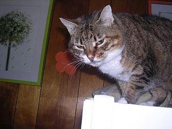 Domestic Shorthair Cat for adoption in Sherman Oaks, California - Starr - FeLV +