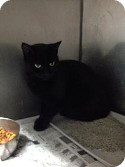American Shorthair Cat for adoption in Lancaster, Virginia - Eileen
