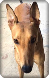 Greyhound Dog for adoption in Seattle, Washington - Chase