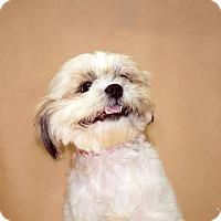 Adopt A Pet :: Sweet Sassy - Madison, NJ