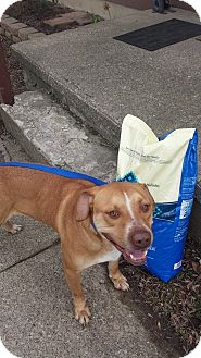 American Pit Bull Terrier/Labrador Retriever Mix Dog for adoption in Middletown, Ohio - Buddy