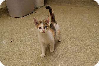 Domestic Shorthair Kitten for adoption in Bucyrus, Ohio - Frenzii