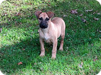 Terrier (Unknown Type, Small)/Labrador Retriever Mix Puppy for adoption in Spring Valley, New York - Izzy