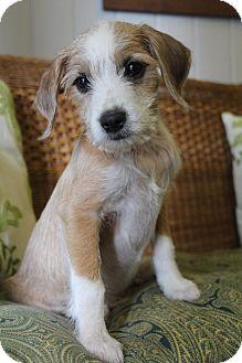 Beagle/Bichon Frise Mix Puppy for adoption in Allentown, Pennsylvania - Paul