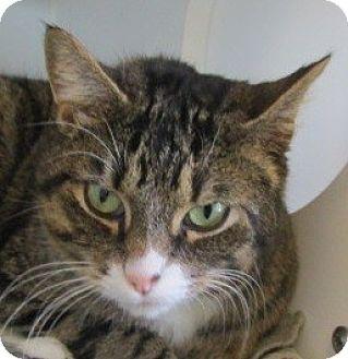 Domestic Shorthair Cat for adoption in Aiken, South Carolina - TINSEL