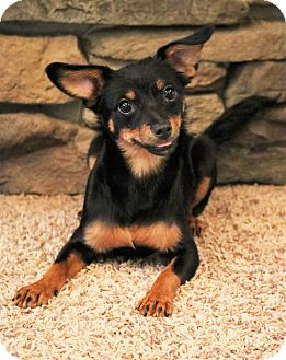Miniature Pinscher/Chihuahua Mix Puppy for adoption in Allentown, Pennsylvania - Rizzo