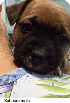Shepherd (Unknown Type) Mix Puppy for adoption in Barnegat, New Jersey - Kaboom