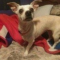 Chihuahua Mix Dog for adoption in Hampton, Virginia - JUNE BUG