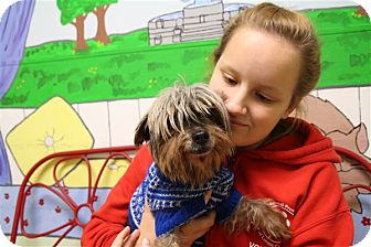 Yorkie, Yorkshire Terrier Dog for adoption in Elyria, Ohio - Tammy Faye