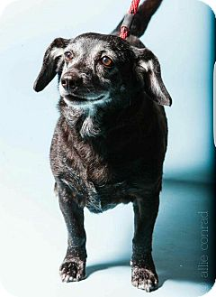 Terrier (Unknown Type, Medium)/Corgi Mix Dog for adoption in Breinigsville, Pennsylvania - Noodle **in a foster home**