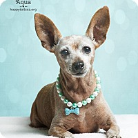 Miniature Pinscher Mix Dog for adoption in Chandler, Arizona - Aqua