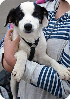 Australian Shepherd Mix Puppy for adoption in Hopkinsville, Kentucky - Scooter