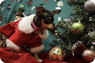 Chihuahua Mix Puppy for adoption in San Antonio, Texas - Nzingah