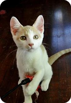 Domestic Shorthair Kitten for adoption in Wichita, Kansas - Speck