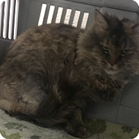 Domestic Longhair Cat for adoption in Saylorsburg, Pennsylvania - Cheetara