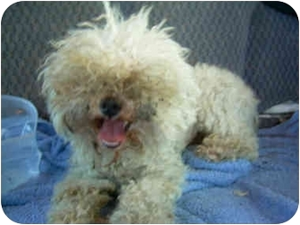 Poodle (Miniature)/Maltese Mix Dog for adoption in Harbor City, California - Rocky 3