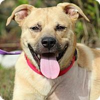 Adopt A Pet :: Rambler - Pawling, NY