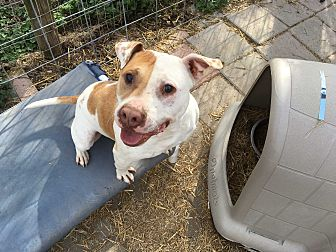 Pit Bull Terrier Mix Dog for adoption in Midlothian, Virginia - D'Angelo - SPECIAL NEEDS