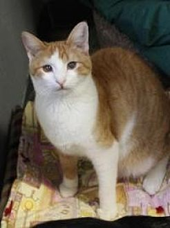 Domestic Shorthair Cat for adoption in Yukon, Oklahoma - Chesapeake