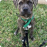 Adopt A Pet :: Beauty - Homestead, FL