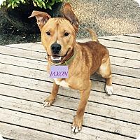 Adopt A Pet :: Jaxon - Qualicum Beach, BC