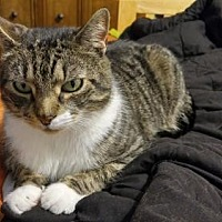 Domestic Shorthair Cat for adoption in Brooklyn, New York - Quirky Zuzu!