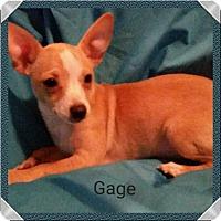 Adopt A Pet :: Gage - San Antonio, TX