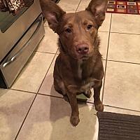 Australian Cattle Dog Dog for adoption in Little Elm, Texas - Colt