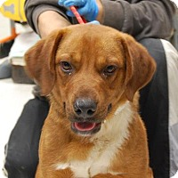Adopt A Pet :: Red - Brooklyn, NY