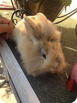 Lionhead Mix for adoption in Cerritos, California - Bunny 3