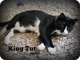 Domestic Mediumhair Cat for adoption in Glen Mills, Pennsylvania - King Tut