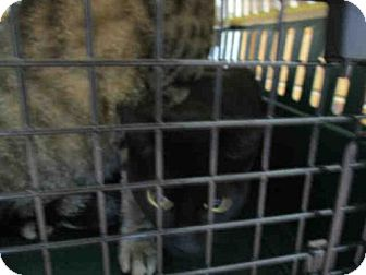 Domestic Mediumhair Cat for adoption in Fort Walton Beach, Florida - DAISY