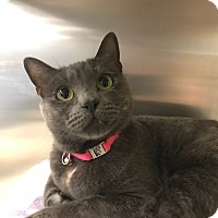 Russian Blue Cat for adoption in Yorba Linda, California - CeCe