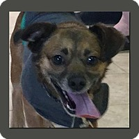 Pug Mix Dog for adoption in Wakefield, Rhode Island - Moe (LoBo) *LOCAL*