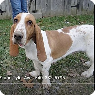 Basset Hound Dog for adoption in Ashland, Virginia - Rosie-ADOPTED!!!