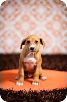 Labrador Retriever Mix Puppy for adoption in Portland, Oregon - Eugene
