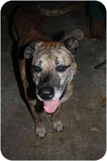 Mountain Cur/Black Mouth Cur Mix Dog for adoption in Hamburg, Pennsylvania - Shep - REDUCED