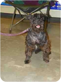 Schnauzer (Miniature) Dog for adoption in Loudonville, New York - Bo
