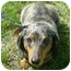 Photo 1 - Dachshund Dog for adoption in Jacobus, Pennsylvania - Pancho - MD