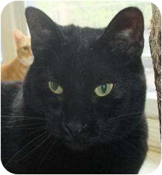 Domestic Shorthair Cat for adoption in Chicago, Illinois - Zuma