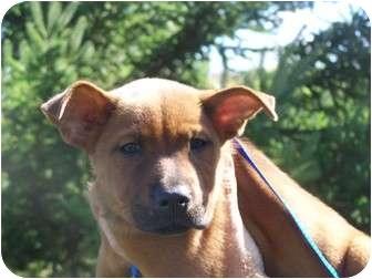 Rottweiler/Labrador Retriever Mix Puppy for adoption in Menasha, Wisconsin - Ruby