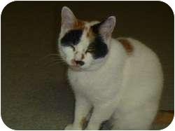 Calico Cat for adoption in Hamburg, New York - Stitch